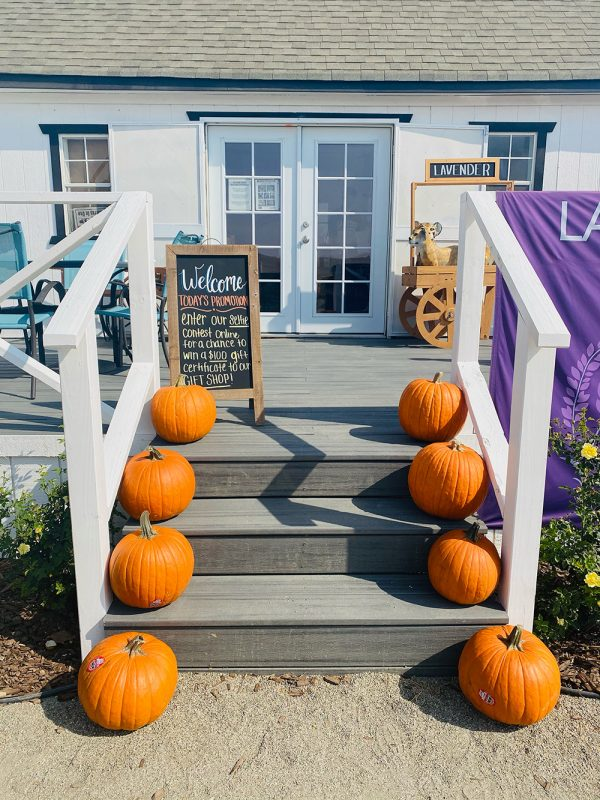 Pumpkins at the Lavender garden